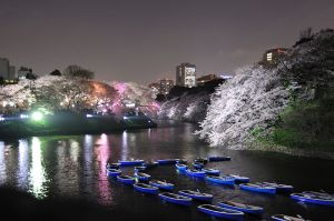 800px-Cherry_blossoms_tokyo_2
