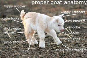 This diagram of goat anatomy may be useful if you visit Sakuraoki