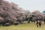 Introvert Special: Top Less-Crowded Places to See Cherry Blossoms In and Around Tokyo