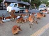 Video: Nara's Famous Wild Deer Overrun Town Streets,Sidewalks