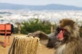 Pictures: Iwatayama Monkey Park,Kyoto